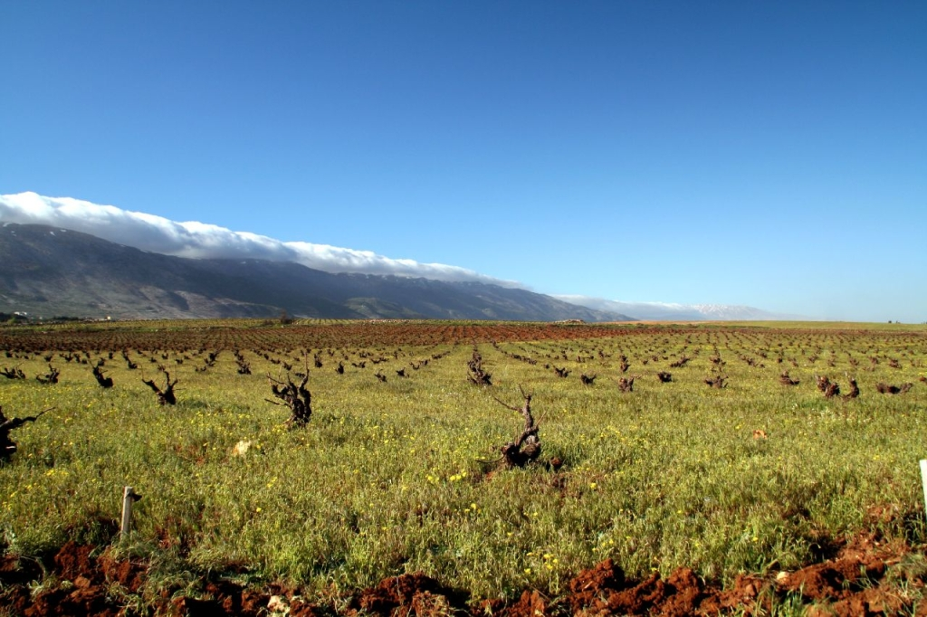 Vineyard in the Bekaa Valley, Lebanon. Photo: Rabih.