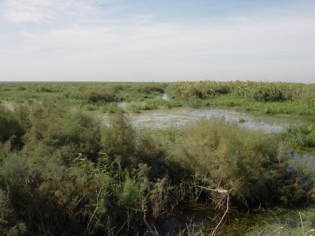 Early growth of reeds mixed with desert scrub in the Hammar Marsh, September 2003