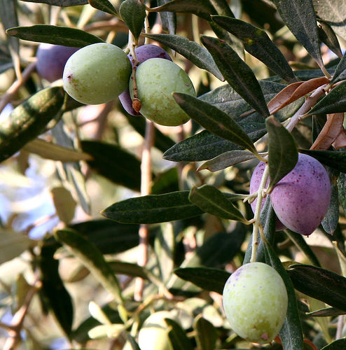 Olive trees near the Dead Sea. Photo: Nick Fraser.