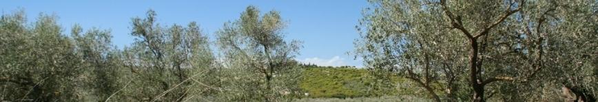 Olive grove at Koura, Lebanon. Photo: Rabih.