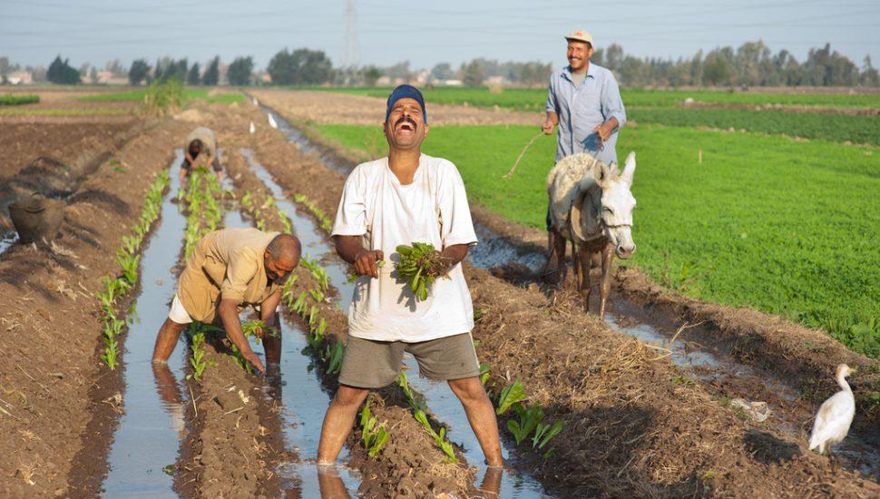 الصورة 1: مزارعون يزرعون الخس ، بينما يقوم مزارع آخر بحفر قناة صغيرة (مروة) بإستخدام حمار. (المصدر:  Flickr, Hamish John, IWMI)